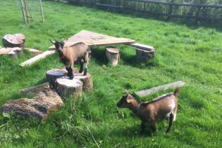 GIlbert & George the Pygmy goats waiting to welcome you