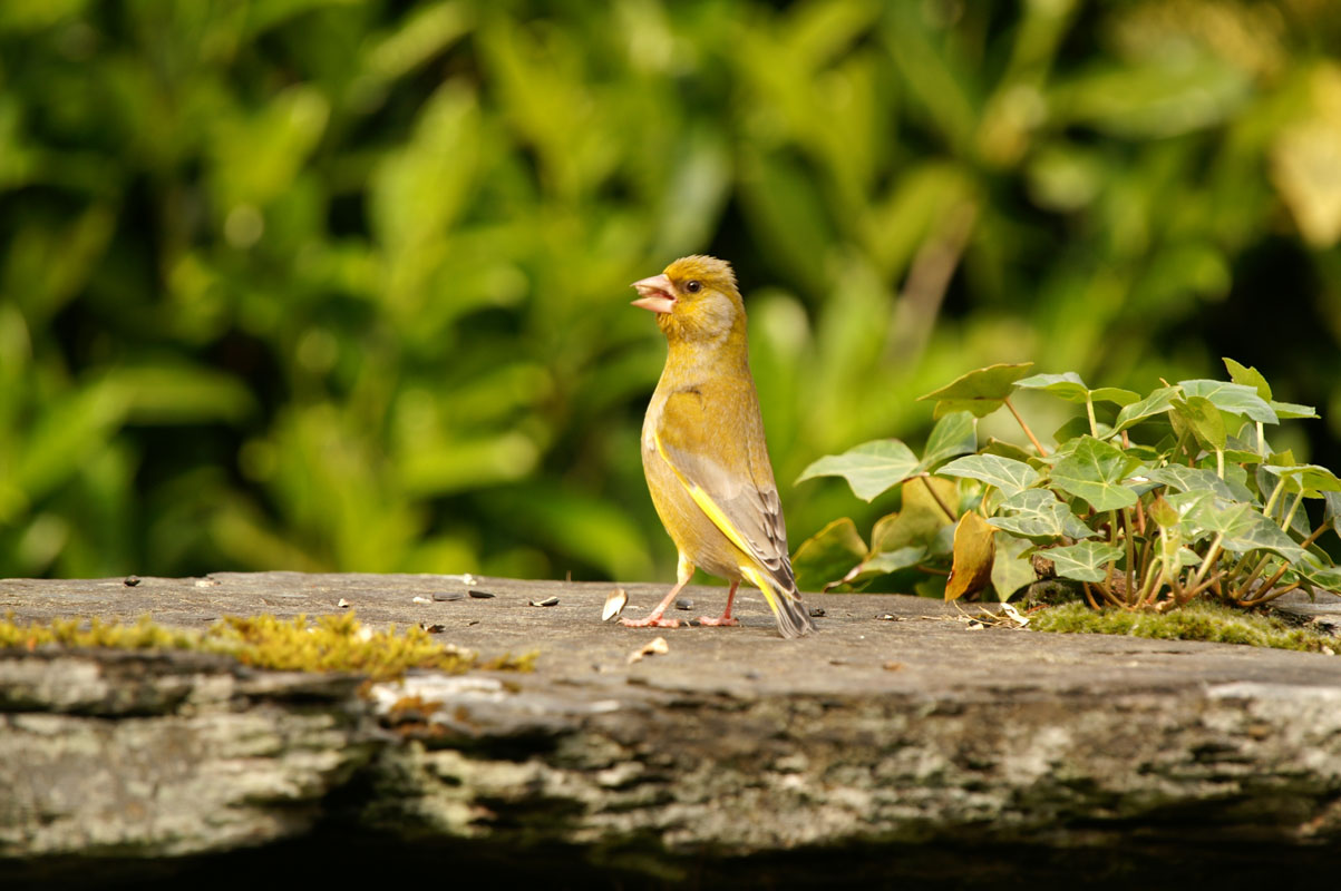Greenfinch captured on camera from the Mews living-room