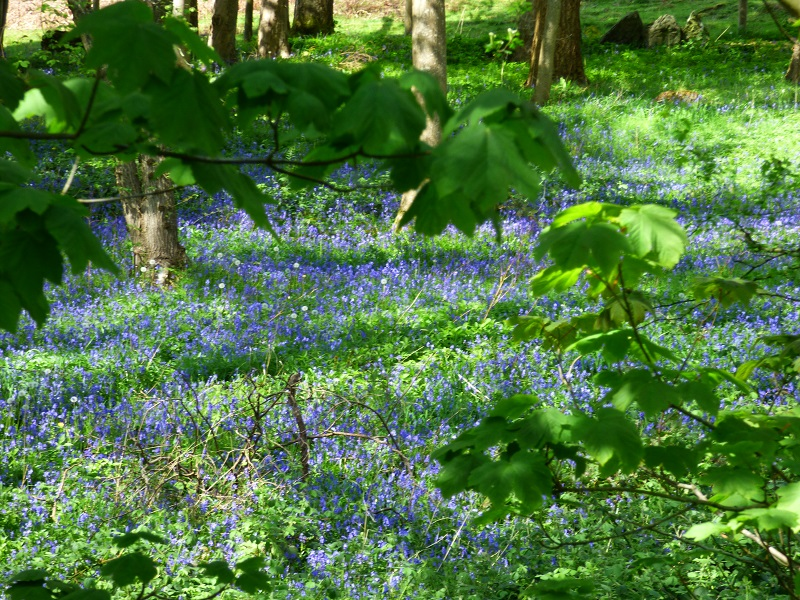 Blue Bells in Spring