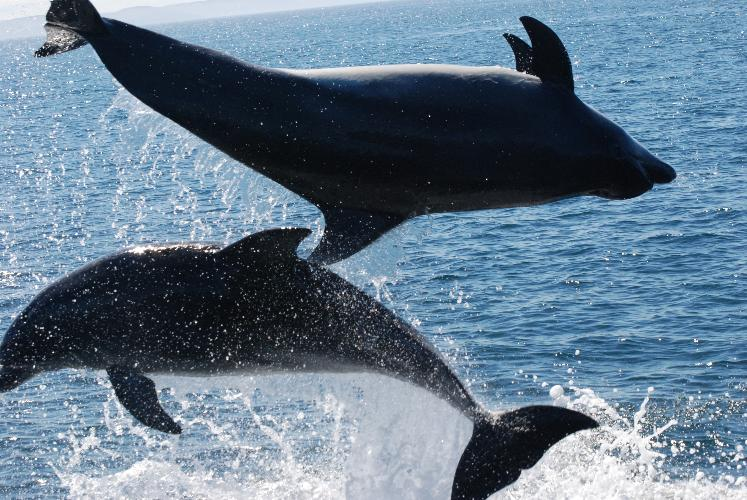 Leaping dolphins - Rhiwlas Cottages - Anglesey Coastal Cottages - Near Moelfre