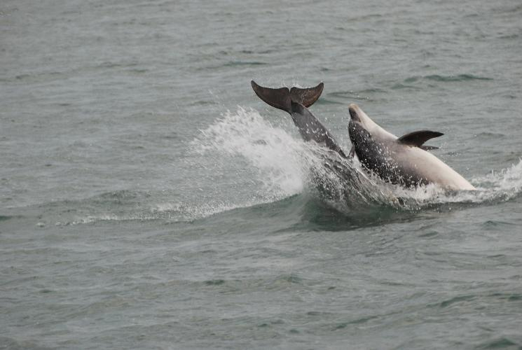 Dolphins in the bay - Rhiwlas Cottages - Anglesey Coastal Cottages - Near Moelfre